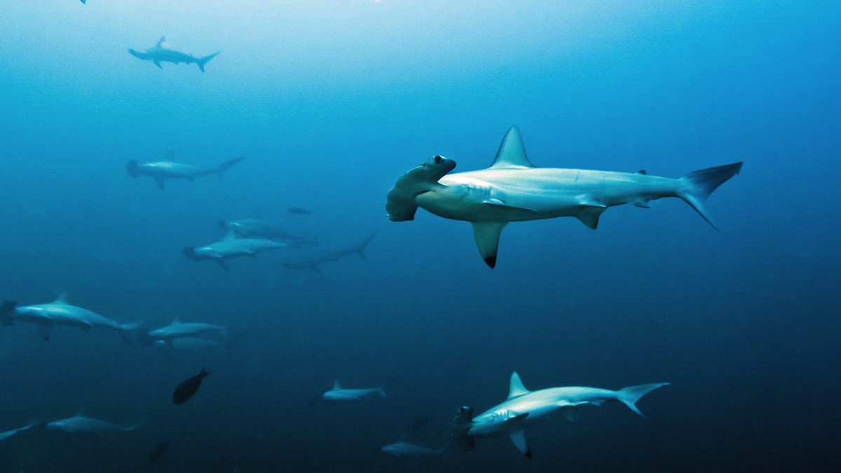 Image of Hammerhead Sharks