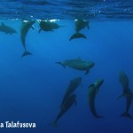 Image of a group of False killer whales