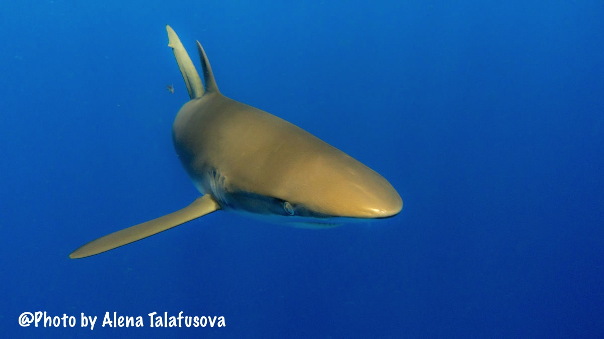 Image of a Silky Shark
