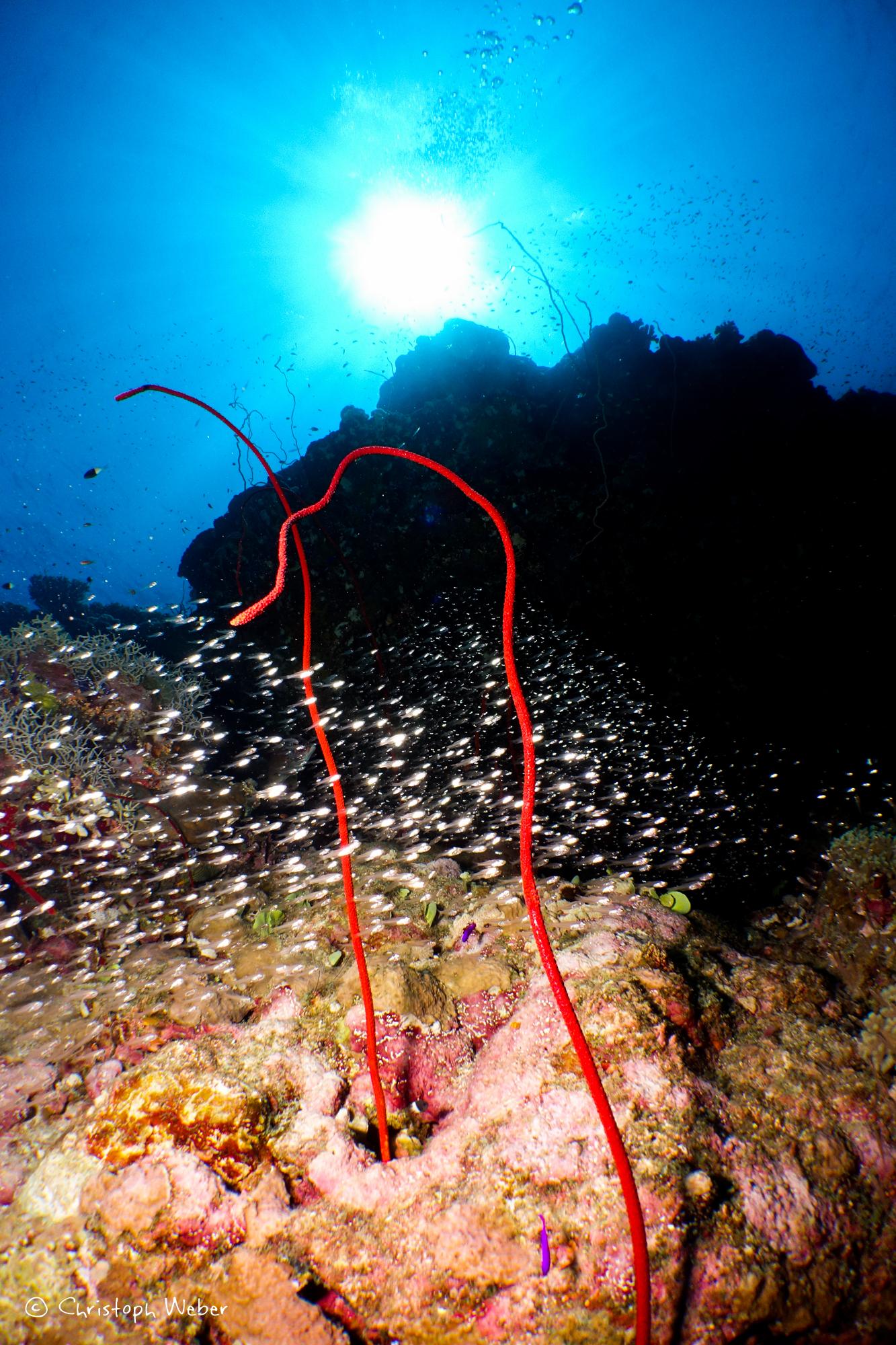 Glass fish and red whip coral