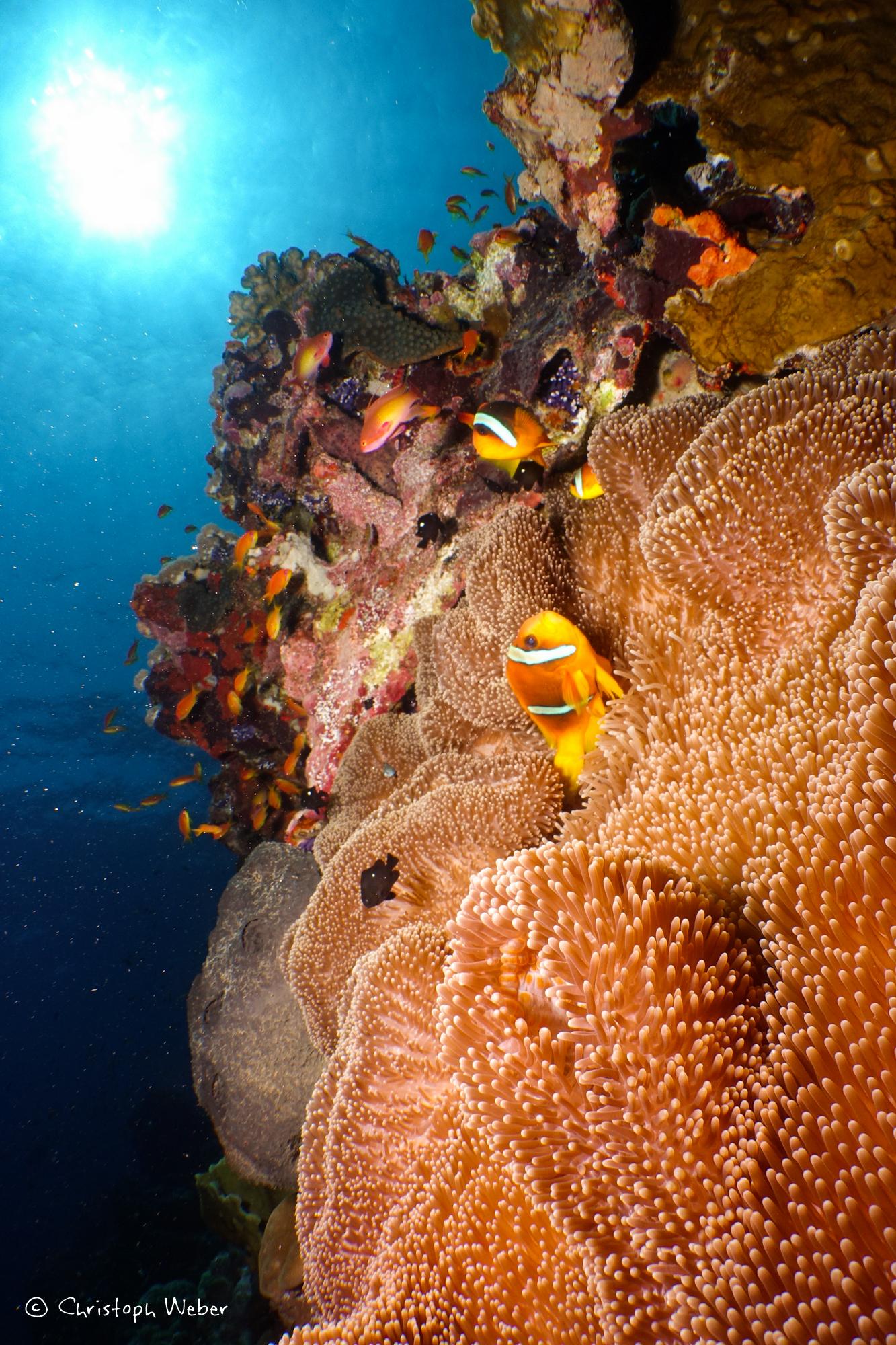 Clown fish dance - Clown fish and anemones