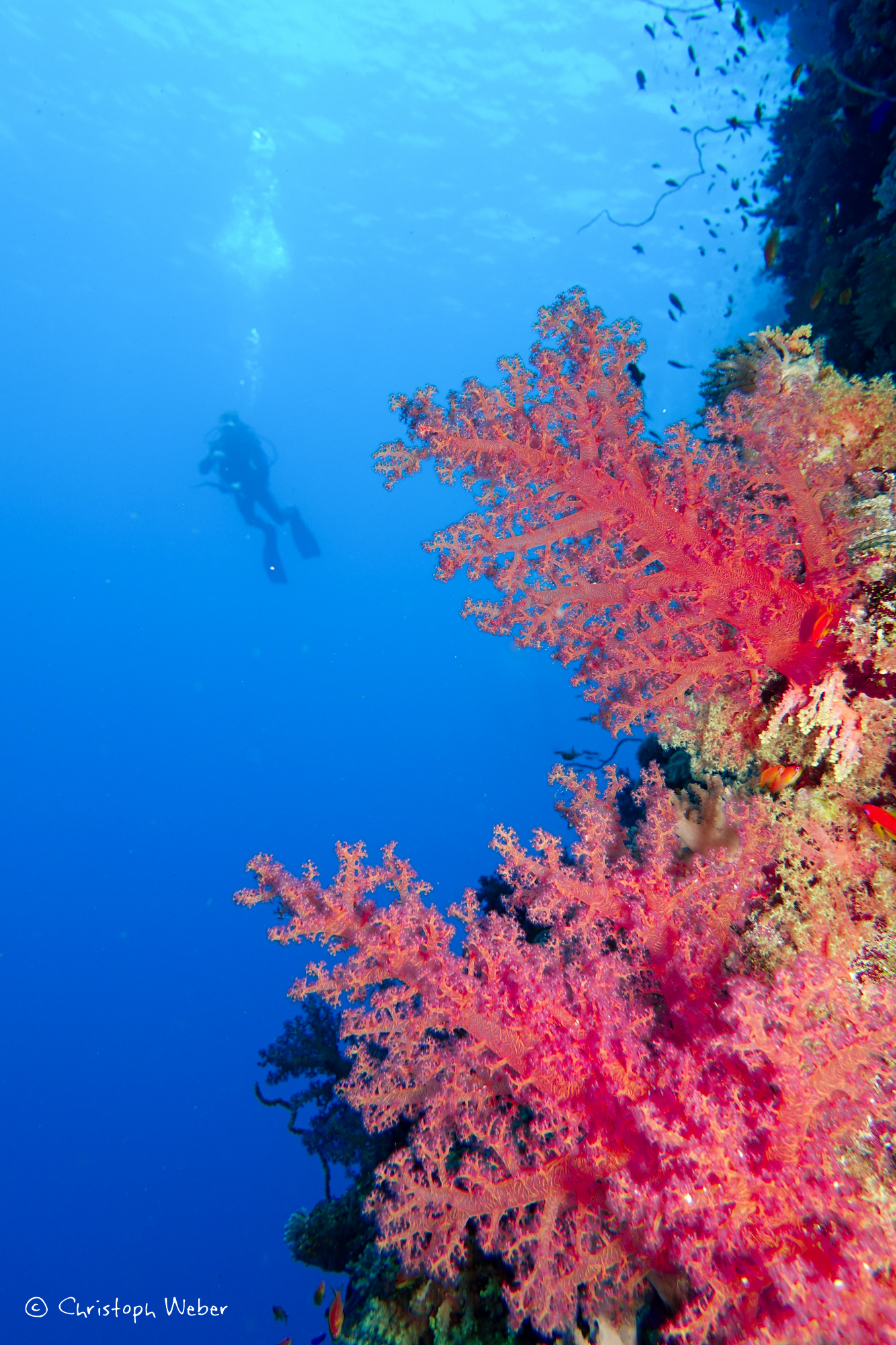 Soft emotions - Soft corals and scuba diver on the background