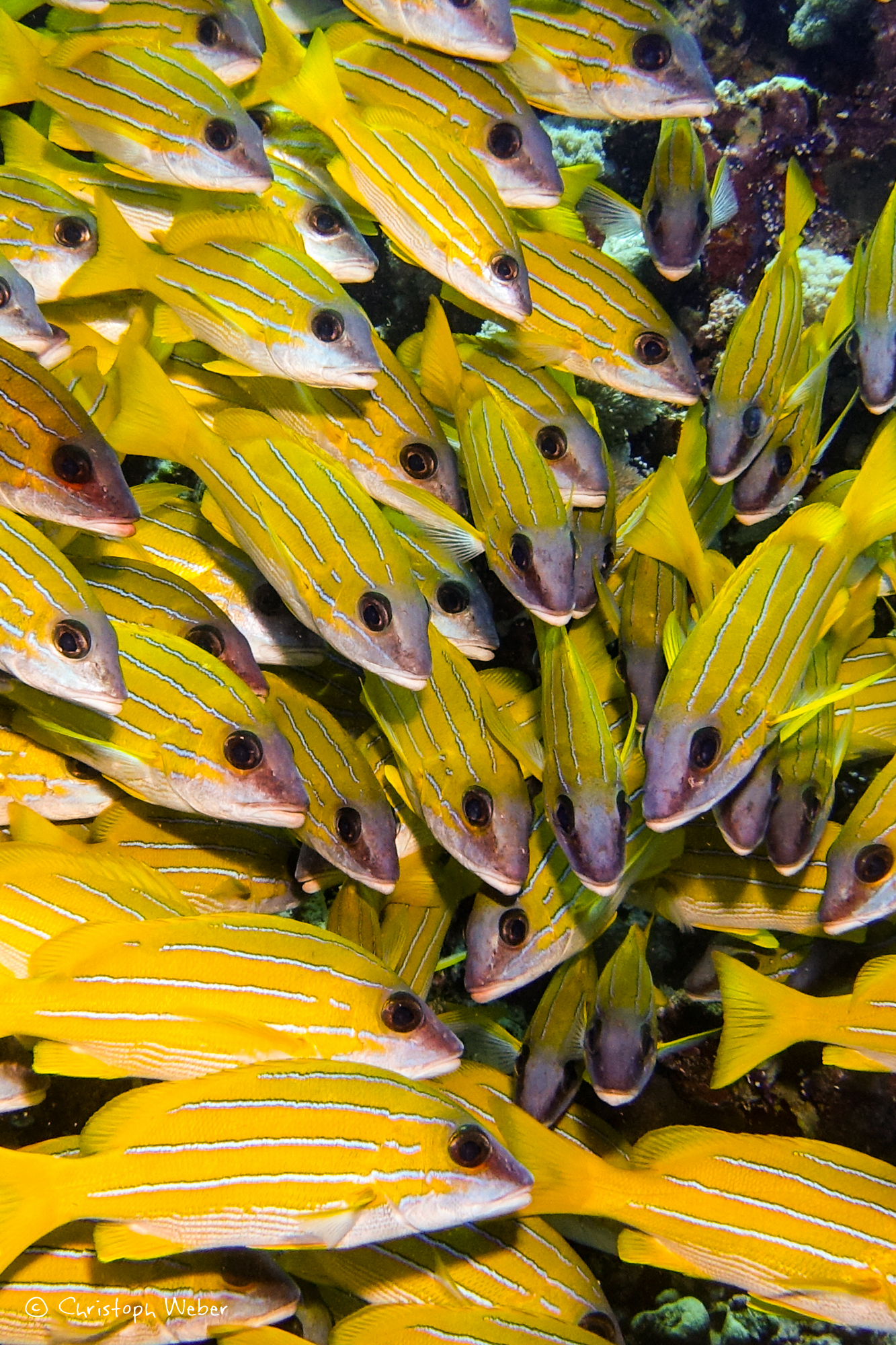 Yellow waves... Blue striped seaperches