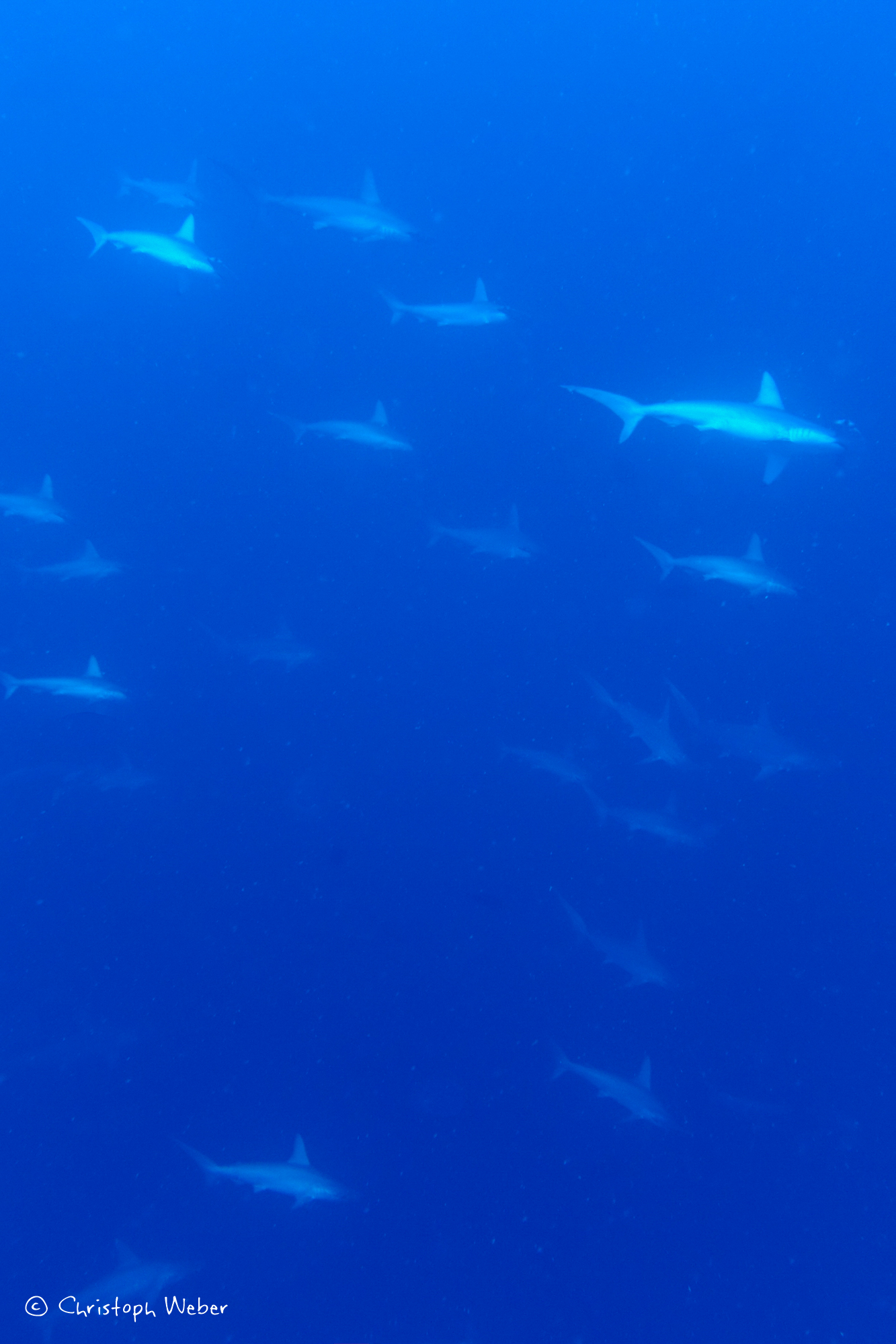 Flying with Titans - School of Hammerhead Sharks in the blue