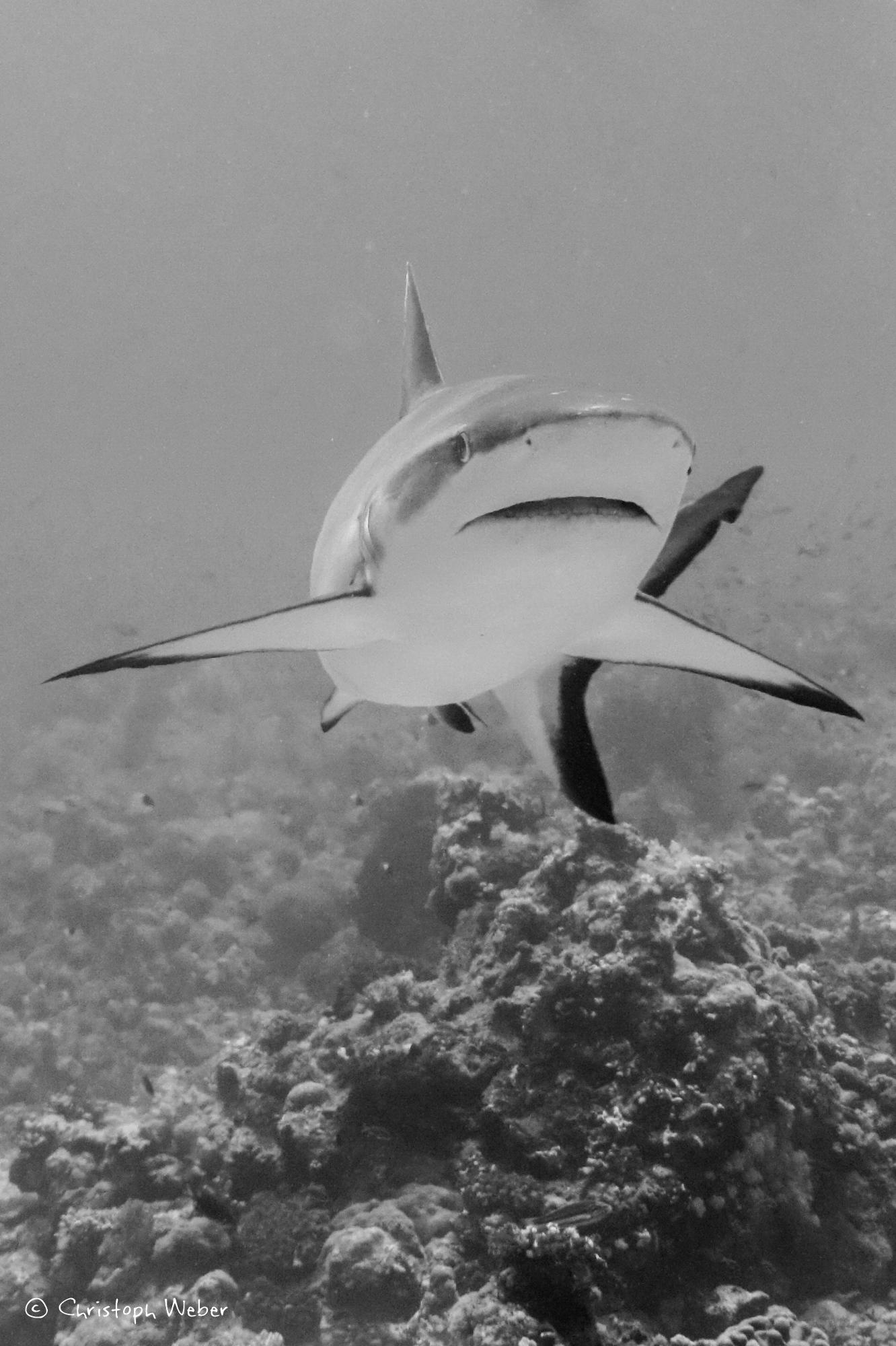 Grey face - A very close grey shark
